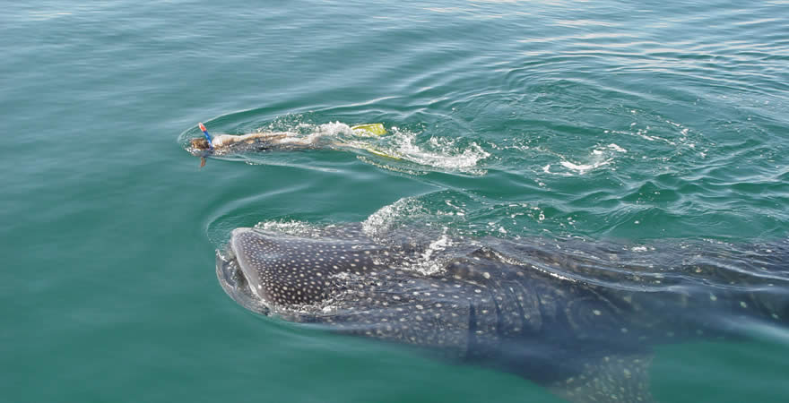 Swim With Whale Shark Tour